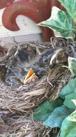 Spring - Baby Robins